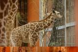 Mała żyrafka z chorzowskiego zoo ma już imię! Wybrano je w konkursie [ZDJĘCIA]