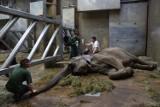 Nie żyje słonica Linda z poznańskiego zoo. Położyła się i już nie wstała...