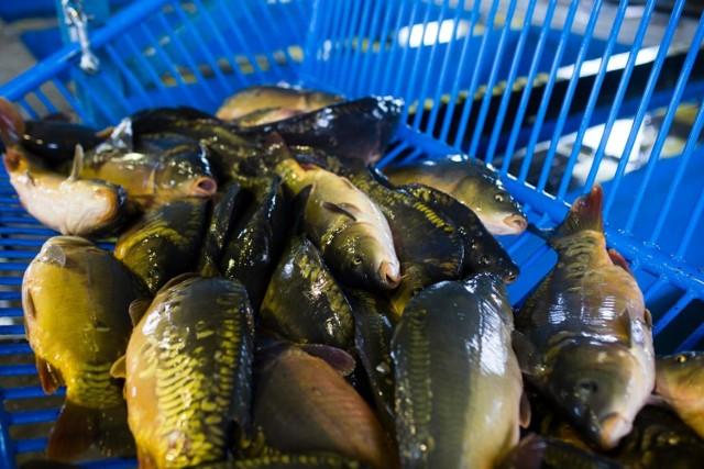 Rybacki Zakład Doświadczalny w Zatorze, producent karpia zatorskiego,