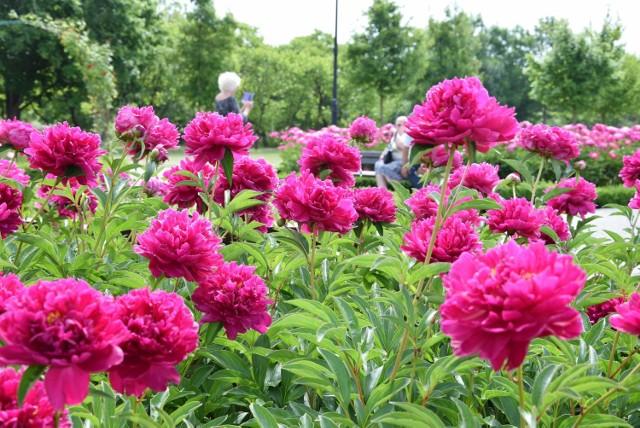 Ogrody Zapachu w inowrocławskich Solankach zachwycają obecnie różnymi odmianami piwonii i róż. Jest tam kolorowo i bardzo aromatycznie