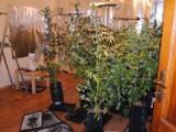 Plantacja marihuany na Wildzie. Doniczki, filtry i nawozy w wynajmowanym mieszkaniu [ZDJĘCIA]