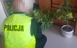 Gmina Cewice. Policja zatrzymała 17-latka, który uprawiał konopie indyjskie w lesie