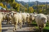 Słowacja. Czy to Polacy wyrzucili w Tatrach setki martwych owiec?