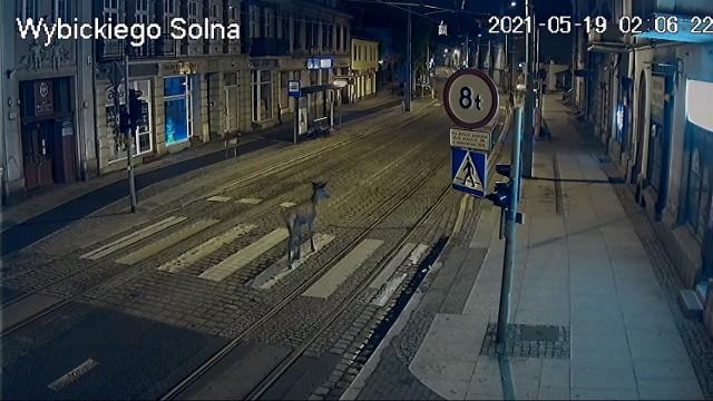 Sarna biegła środkiem ulicy w centrum Grudziądza