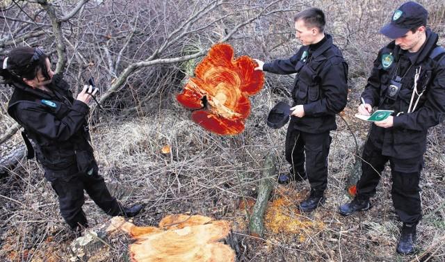 """Członkowie Koła """"Ćma"""" Ligi Ochrony Przyrody w Czerwonaku na miejscu ocenili skutki wycinki"""
