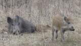 W Sobieszynie trzy dziki zginęły pod kołami samochodu