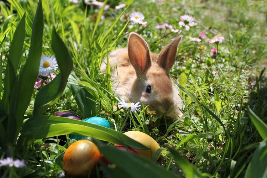 Zajączek Wielkanocny przynosi koszyk słodyczy i prezentów