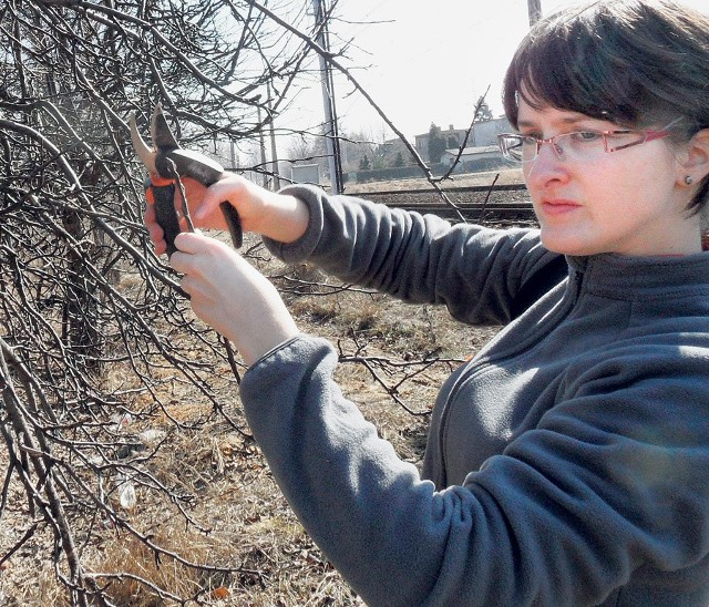 Marta Jańczak pobiera szczepki starych jabłoni w Tychach