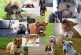 TOP 10. Najgłupszych psów. Sprawdź jakie rasy są najniżej w rankingu inteligencji