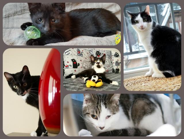 Bydgoski Klub Przyjaciół Zwierząt Animals aktualnie pod swoją opieką ma dziewiętnaście kotów. Wszystkie mruczki przebywają w domach tymczasowych. Poznajcie osiem z nich.   W sprawie adopcji można kontaktować się wysyłając wiadomość na Facebooku pod tym linkiem. Pomóc można również przekazując organizacji 1 proc. swojego podatku.   Bydgoski Klub Przyjaciół Zwierząt Animals ul. Bartosza Głowackiego 16/58, 85-614 Bydgoszcz  PKO BP I/O Bydgoszcz nr 88 1020 1462 0000 7902 0018 9803  IBAN: PL 88 1020 1462 0000 7902 0018 9803 SWIFT: BPKOPLPW 88 1020 1462 0000 7902 0018 9803  KRS 0000069428    Flesz - wypadki drogowe. Jak udzielić pierwszej pomocy?