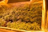 41 krzaków i blisko 4 kg marihuany. 32-latek z gminy Kiełczygłów zatrzymany