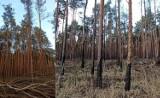 Tak wygląda las w Swolszewicach zniszczony przez pożar w 2019 roku