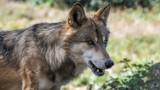 Spotkanie z wilkami w powiecie oleśnickim jest bardzo możliwe. Czy mamy powody do obaw?