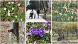 Tarnów. Rekordowo ciepły 1 kwietnia w Tarnowie. Na termometrach ponad 20 stopni a w parkach spacerowicze i coraz więcej kolorów [ZDJĘCIA]