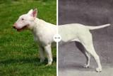 Jak zmieniły się rasy psów? Z niektórych ludzie zrobili inwalidów. Oto najbardziej zniekształcone psy świata (zdjęcia)