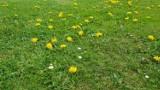 Bochnia. Petycja w sprawie ograniczenia koszenia trawników w mieście