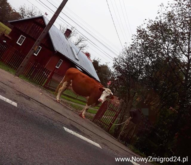 Właściciel krowy został ukarany mandatem.