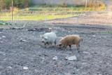Skrzyżowanie świni i owcy? Nietypowe zwierzęta hoduje rolnik niedaleko Krempnej. Mięso z Mangalic jest zdrowsze niż tran! [FOTO]