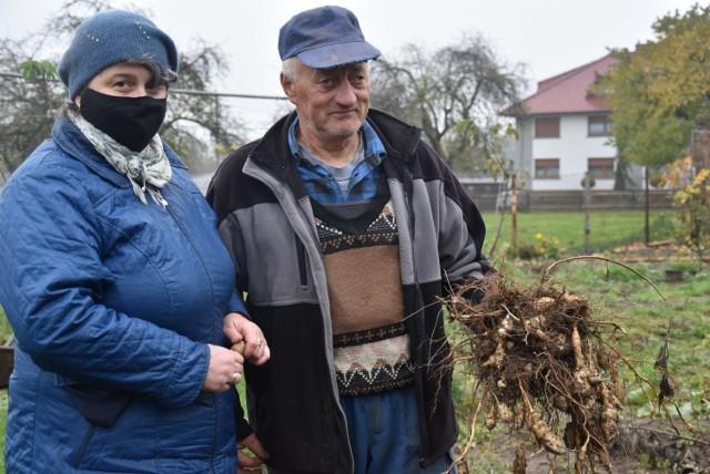 Państwo Barbara i Tadeusz Grys od roku zajmują się uprawą topinamburu