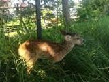 Wycieńczona sarna potrzebowała pomocy - została odwieziona do ośrodka dla dzikich zwierząt