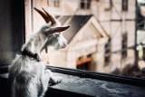 Kto odciął głowę koziołkowi? Obrońcy zwierząt chcą przeprowadzić się pod Wałbrzych i Świdnicę  [ZDJĘCIA]