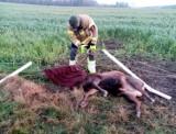 Strażacy z Gościna uratowali jelenia, zaplątanego w linki