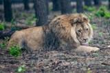 Kizia i Leoś zostają na stałe w poznańskim zoo. O losie lwów zadecydował minister klimatu i środowiska