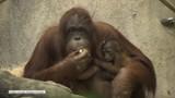 Orangutanica Sophie urodziła właśnie szóstego potomka i pochwaliła się nim światu (wideo)