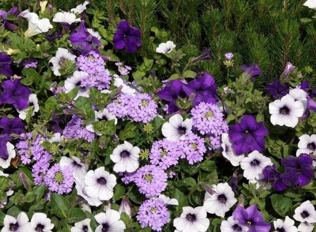 Fioletowe kwiaty wytwarza całkiem sporo roślin. Jest to wyjątkowo atrakcyjny kolor – wyraźnie odcinający się od zieleni liści. To sprawia, że obok fioletowych kwiatów trudno przejść obojętnie. Często stanowią najbardziej wyrazisty akcent na rabacie lub w balkonowej skrzynce. Pamiętajmy, że fiolet ma wyjątkowo dużo odcieni, łącznie z takimi, przy których można mieć wątpliwości, czy to jeszcze niebieski lub różowy albo bordowy – czy właśnie już fiolet. Ale dzięki temu nawet rabata złożona z samych fioletowych kwiatów może mienić się różnymi kolorami i nie być nudna. Fioletowe kwiaty możemy wykorzystać też jako element wielobarwnych kompozycji albo łączyć je z wybranymi kolorami. Z białymi kwiatami będą wyglądały elegancko (i niezbyt wesoło), z żółtymi, pomarańczowymi i czerwonymi stworzą bardzo żywe połączenie, a z niebieskimi i różowymi – stonowane i romantyczne.  Oto 15 roślin o fioletowych kwiatach, które kwitną od wczesnej wiosny do późnej jesieni.
