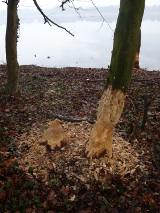 Bobry są kłopotem dla wielu mieszkańców Pniew