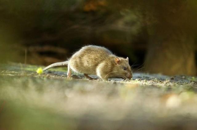 """Szczury w Toruniu. """"Tanie trutki na tackach groźne dla dzieci i zwierząt!"""" - alarmują mieszkańcy"""