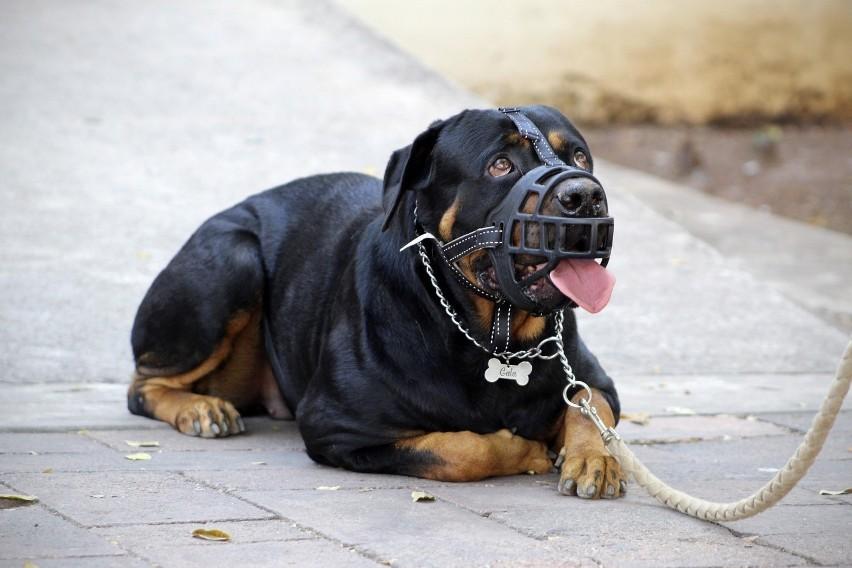 Te rasy psów są uznawane za agresywne. By je mieć, musisz...
