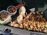 Sycowianie pochwalili się zdjęciami grzybów. Mieli udane grzybobranie! [ZDJĘCIA]