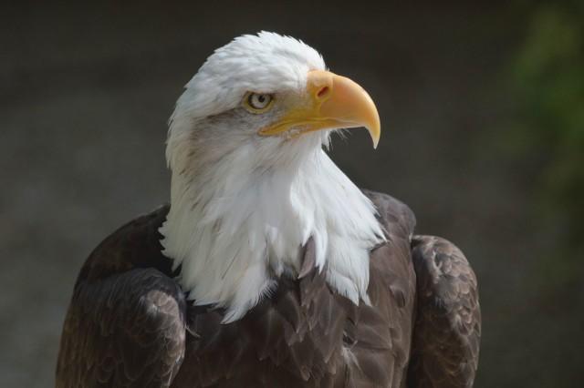 Bald eagle at the Conservation Park