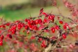 Krzewy o dekoracyjnych owocach. Polecamy najpiękniejsze krzewy na jesień i zimę