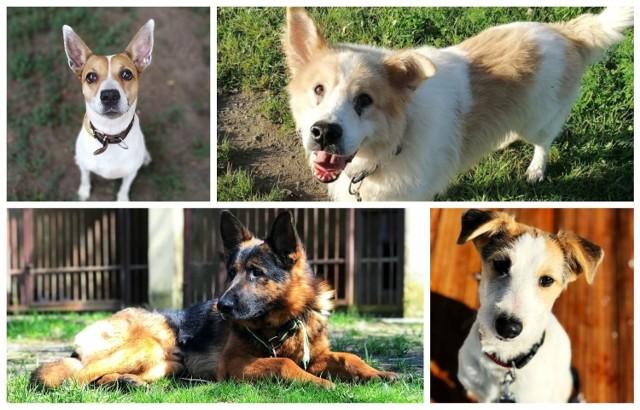 Na adopcję czekają najróżniejsze psy. Każdy z nich to inna historia i inny charakter (opisy pochodzą ze strony schroniska).   Przewiń w prawo i zobacz, czy wśród czekających na adopcję psiaków znajduje się twój nowy przyjaciel --->
