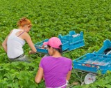 Praca przy zbiorach owoców w Kujawsko-Pomorskiem. Ile można zarobić? Nawet 350 złotych dniówki! [stawki]