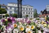 Rynek w Kętach i sąsiednie ulice toną w kolorowych kwiatach
