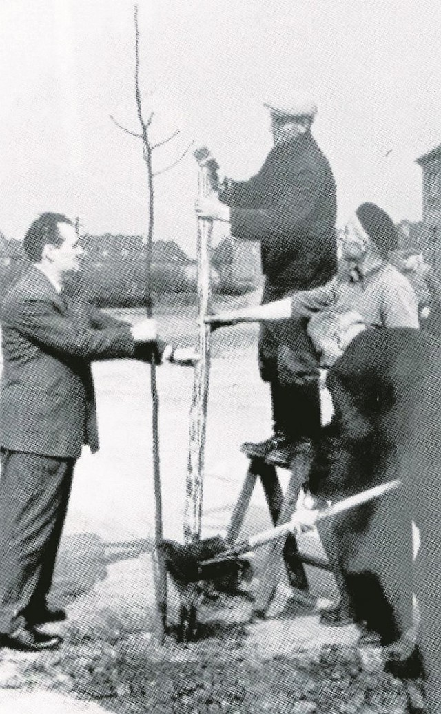 Czyn społeczny w 1961 r.: I sekretarz miejski PZPR Ryszard Dobiszewski przy wsparciu aktywu robotniczego sadzi drzewko na Osiedlu Nowym.
