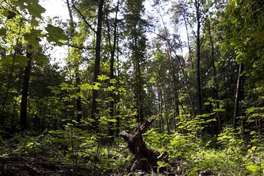 W Lesie Kabackim może dojść do wycinki drzew