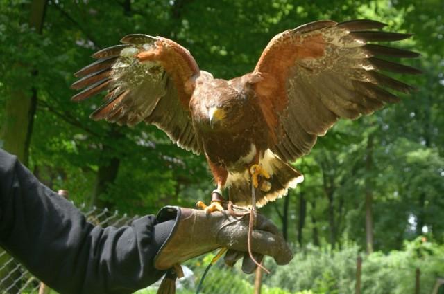 W radomskiej Leśniczówce ptaki płoszy między innymi raróg Lamer.