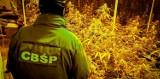 Plantacja narkotyków w Świebodzicach. 34-latka hodowała krzewy konopi w doniczkach