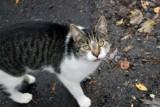 Koronawirus może przenosić się z ludzi na koty. Są najnowsze badania