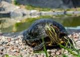Pruszcz Gdański. Żółw żółtobrzuchy występujący w Ameryce Północnej odłowiony w Raduni w okolicach Faktorii