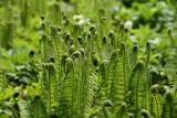 Masz w ogrodzie cieniste miejsce? Polecamy wspaniałe paprocie, które je ozdobią
