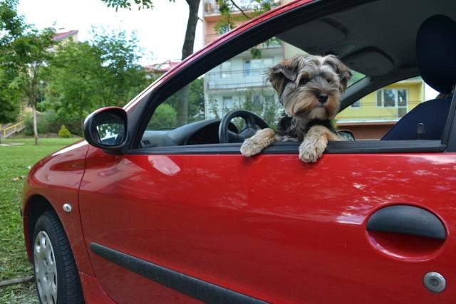 Podczas podróży samochodem koniecznie zadbajmy o częste pojenie naszego pupila