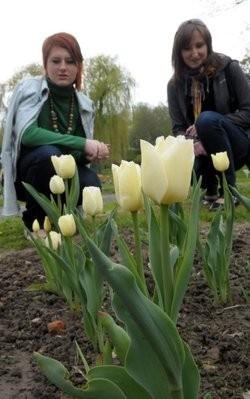 Ma długą arystokratyczną nóżkę i finezyjnie pofalowane liście. Z kielicha wyrastają subtelne kremowe płatki, troszeczkę zawinięte do środka, jak u róży. Ten delikatny i królewski kwiat powstał na cześć pierwszej damy Marii Kaczyńskiej. Wyhodowanie tej odmiany tulipana zajęło 18 lat  Na zdjęciu  - w Ogrodzie Botanicznym UMCS w Lublinie.