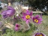 Tulipany i inne piękne kwiaty w ogrodzie w Olszynce w gminie Orły, niedaleko Przemyśla [ZDJĘCIA INTERNAUTKI]