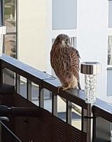 Hej, sokoły z Wałbrzycha! Zaglądają na balkony i parapety. Zobaczcie niesamowite zdjęcia!