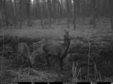 Zwierzęta nocą. Niezwykłe zdjęcia z Nadleśnictwa Kościerzyna [GALERIA]